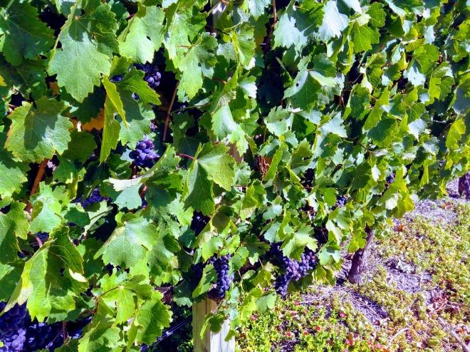 uvas vinhedo